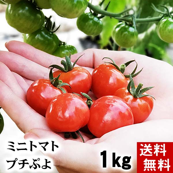 ミニトマト プチぷよ 北海道和寒